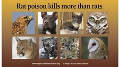 Petition · California State Legislature: Urge the California State Legislature to Protect Wildlife by Banning Rodent Poisons · https://www.change.org/p/california-state-legislature-urge-the-california-state-legislature-to-protect-wildlife-by-banning-rodent-poisons?source_location=petition_footer&algorithm=recommended_share&grid_position=1 Change.org
