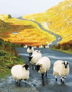 Sheep on the Wild Atlantic Way Ireland. Photography by Gary Walsh and Tourism Ireland. Ireland Vacation, Ireland Travel, Tourism Ireland, Wild Atlantic Way Ireland, Farm Animals, Cute Animals, Love Ireland, Galway Ireland, Erin Go Bragh