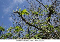 Fig tree - stock photo