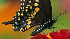 BlackSwallowtail - male    www.wunderground.com