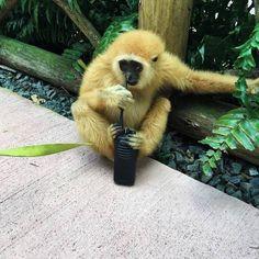 Look who's of duty tonight😎💙 #Gibbon #BabyAnimals #ZWFMiami
