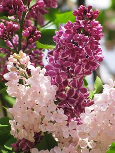 This lilac bush in my neighbourhood has a bit of a split personality. It`s mostly purple but has one branch of white flowers. So cool!