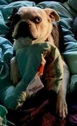 Boston Terrier dog for Adoption in Maryville, TN. ADN-488871 on PuppyFinder.com Gender: Male. Age: Adult