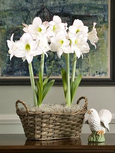 Picotee ~ This distinctive amaryllis offers clean white flowers with a thin red edge. It's a classic among hybrid amaryllis.    Name: Hippeastrum 'Picotee'    Growing Conditions: Bright light; allow the potting mix to dry between waterings    Size: To 36 inches tall    Why We Love It: Its flowers have an old-world charm and it's a profuse bloomer.