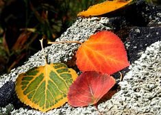 Aspen Leaves Nature Photography  Fine Art Photography  by PuaArts