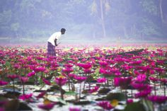 Beautiful Bangladesh ©: Water Lilies bloom in the Sundarbans ( Biswas) Beautiful Places To Travel, Beautiful World, Bangladesh Travel, Nature Photography, Travel Photography, Backpacking India, Lily Bloom, Flower Images, Travel Light