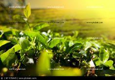 http://www.photaki.com/picture-tea-plantation_978445.htm