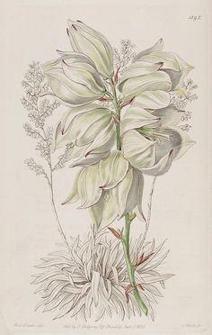 Edwards's botanical register v. 22 London :James Ridgway,1829-1847.