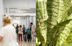Sansewieria to roślina o niezwykłych właściwościach, która poprawia nasze zdrowie