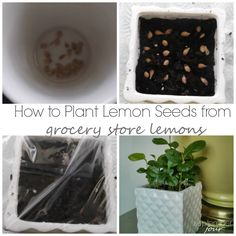 how to plant seeds from grocery store lemons