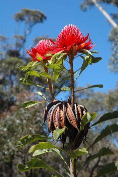 APII jpeg image of Telopea speciosissima © contact APII Australian Native Garden, Australian Flowers, Australian Plants, Front Gardens, Photo Class, Plant Images, Plant Nursery, Native Plants, Pretty Flowers