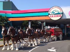 BUDWEISER CLYDESDALES VISIT MUCKLESHOOT CASINO, August 9th