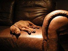 vizlsa puppy. cutest.