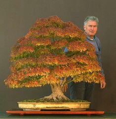 Bonsai. If the picture is taken to show the trees volume, the man has the right to be proud. Wonderfull creation. It is another famous piece from Walter pall's collection. Sycamore Maple that won the Bonsai Today / Art of Bonsai Photo Contest.