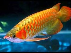 """Arowana is tropical freshwater fish. They are additionally called bony tongues given their toothed mouth and tongue with teeth. Intriguing certainty is the arowana's jaw has two barbels which are tangible organs ready to identify development on the water's surface. Arowanas are known for their hard heads. They have extended bodies secured by various scales. The Arowana is a common fish amongst the fish specialists as a result of it's """"ancient"""" appearance. Arowanas have eager flesh eater…"""