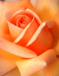 Captivating Why Rose Gardening Is So Addictive Ideas. Stupefying Why Rose Gardening Is So Addictive Ideas. Love Rose, My Flower, Pretty Flowers, Orange Roses, Red Roses, Ronsard Rose, Happy Colors, Beautiful Roses, Orange Color