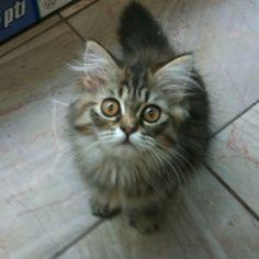Pet shop kitten.