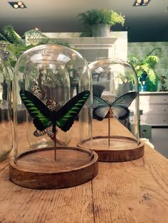 Hubsch Globe butterflies, Trogonoptera Brookiana, Papilio Zalmoxis.