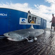 Freo, a 12 ft 7 in 1027 lbs tiger shark, was temporarily attached with a camera to capture her movements after being SPOT tagged.