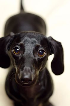 : There are more dachshund colors and patterns than most other dogs and sometimes it can be difficult to decide on the dachshund's correct color classification Dachshund Funny, Black Dachshund, Mini Dachshund, Dachshund Puppies, Cute Puppies, Pet Dogs, Dogs And Puppies, Pets, Daschund