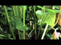 The Living Machine - YouTube - sustainable wastewater treatment at Oberlin college