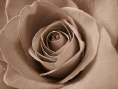 Rose in Sepia by Colleen Winter My Flower, Flowers, Flower Pictures, Icing, Roses, Winter, Winter Time, Photos Of Flowers, Pink