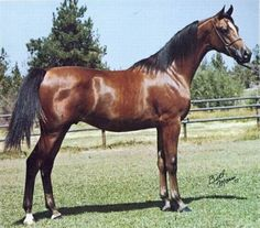 BEY SHAH (Bay El Bey++ x Star of Ofir, by *Bask++) 1976 bay stallion Sire of National Champion Stallion Fame VF+; National Champion Mares Bey Fireeshah, Bey Teyna, Gaishea, and Shahteyna; National Top Ten Futurity Colt ShahZaReign. Grandsire of National Champion AALUSIVE BEY and LV INTEGRITY, 6th Place Tevis Cup Winner