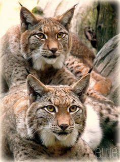 Four-eye-principle; Lynx rufus