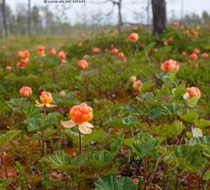 Cloudberries in Finland Fruit Plants, Edible Plants, Fruit Trees, Nature Music, Eat Seasonal, Garden Features, Autumn Trees, Life Inspiration, Nature Photos
