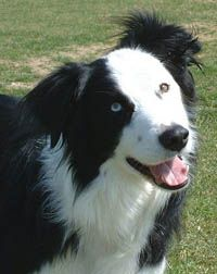 1000 images about border collie