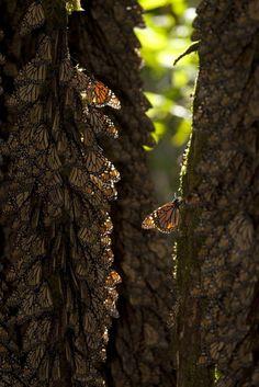 Photo by Mario Vazquez De La Torre / EPA (via PhotoBlog - Monarch butterflies wintering at Mexico sanctuary) :)