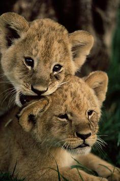 Lion Cubs | Unknown Photographer