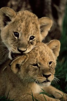 Lion Cubs   Unknown Photographer