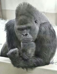 Gorilla with a problem on his mind