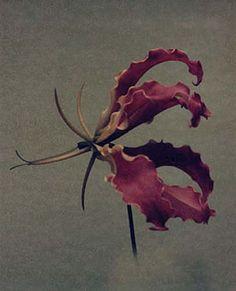 "Flowers in Neutral Moment ""Gloriosa"" Polaroid image transfer 8x10 archival pigment print Photo by Soichi Oshika"