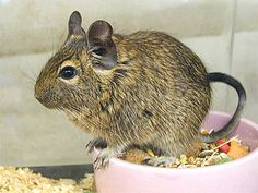 @Elle Belle, this is what you should adopt. It's called a degu, and they are kind of like a mix between a mouse/guinea pig/chinchilla.