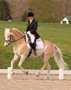 This remarkable, elegant registered Haflinger can do it all!! From Dressage, jumping, eventing, foxhunting, beginner lessons to advanced. Big enough for a small adult, small and quiet enough for a child. Moves like a big horse, honest over jumps, lots of show experience. Showing 2nd level dressage, training 3rd level. $18,000