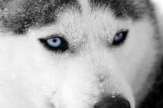 A malamute or husky type dog that lived 11,000 years ago has kept its genes going in an unlikely source....cancer. Canine transmissible venereal tumor (CT