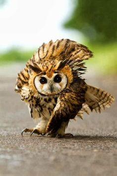 feisty lookin' little owl!