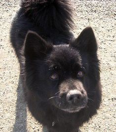 Moonshadow the Chow /  Lab Mix  I am extremely partial to chow mixes