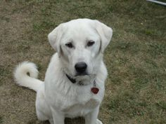 ... year old female akbash dog her parents are registered akbash dogs she