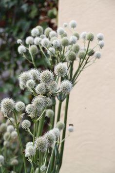 Eryngium yuccifolium - yuccabladige kruisdistel