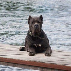 From ' I Love My Cane Corso '