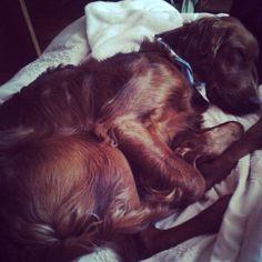 Taking a big nap  #Theo #Puppy #6Months #IrishSetter