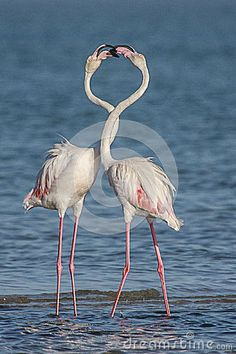 Photo about A pair of Flamingoes courting in the Lagoon. Image of pond, flamingos, natural - 37988962 Flamingo, Pond, Southern, Africa, Birds, Stock Photos, Nature, Photography, Animals