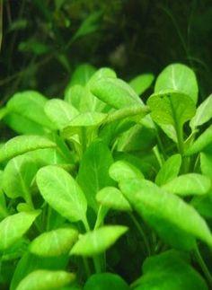 Midground Plant   Lobelia Cardinalis
