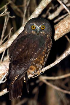 Morepork - love, love, love the sound of these birds in my garden. Beautiful Owl, Beautiful Things, Owl Pictures, Owl Bird, Night Owl, Totems, Birds Of Prey, Raptors, Bird Watching