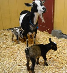 3 - There are two new kids on the block at Point Defiance Zoo & Aquarium. A Nigerian Dwarf Goat, named Hazel, gave birth to the female twins June 24 in the Kids' Zone area of the zoo.