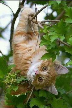 orange cat hanging around in a tree orange cat hanging around in a tree Orange Cat Ideas of Orange Cat orange cat hanging around in a tree The post orange cat hanging around in a tree appeared first on Katzen. Pretty Cats, Beautiful Cats, Animals Beautiful, Cute Kittens, Cool Cats, Cute Baby Animals, Animals And Pets, Wild Animals, Orange Cats