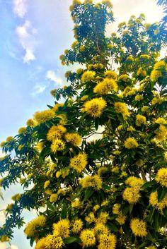 Golden penda tree flowering